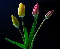 Tulips (Tulpen)
