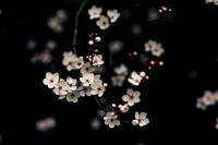 Petals_on_a_wet_black_bough